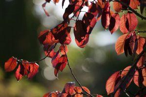 hojas de árbol color rojo intenso a contraluz